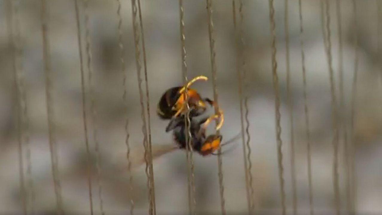 ARPA ELECTRICA. Ideada en Francia, la corriente aturde los insectos, que caen a un recipiente con líquido en la parte inferior.