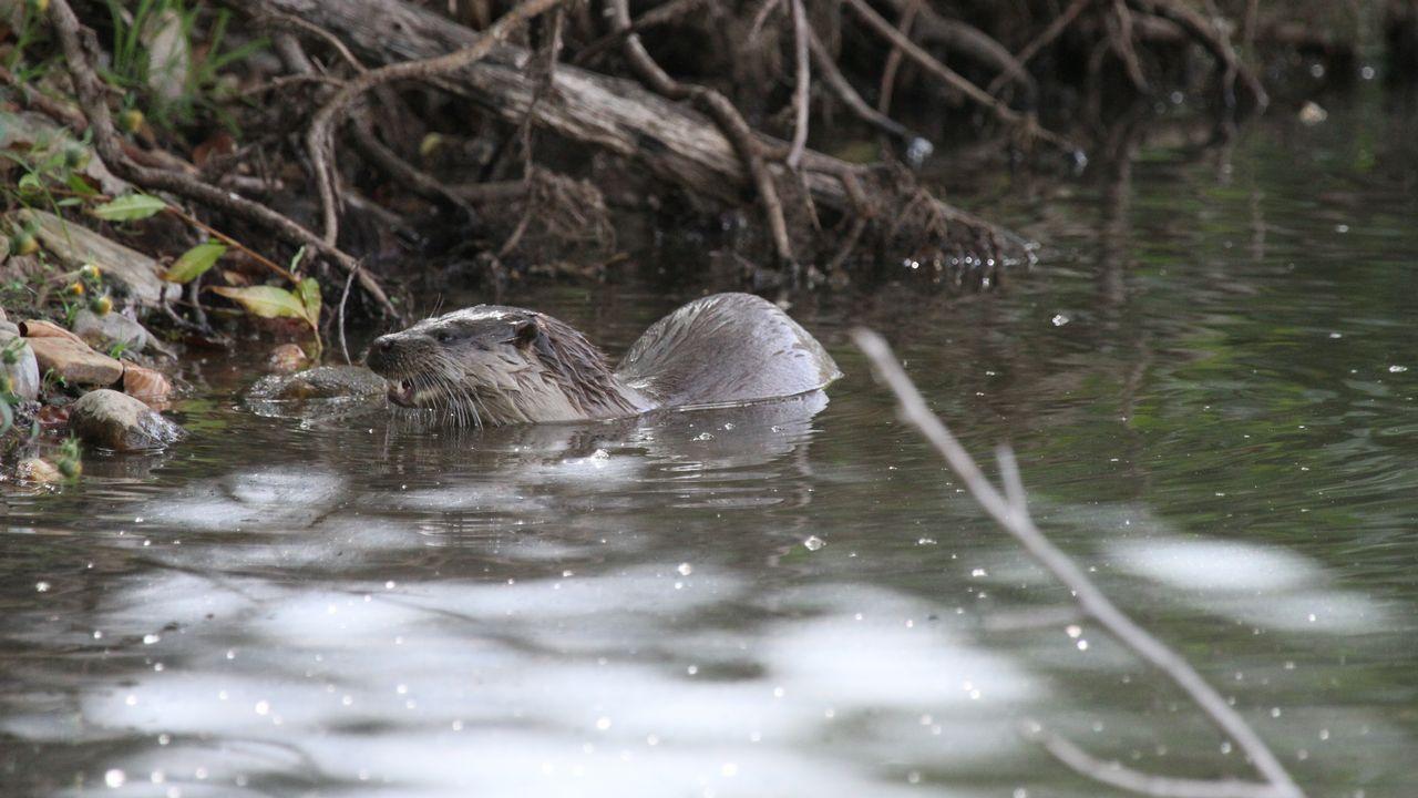 La nutria es uno de los mamíferos que forman parte de la fauna de Cabe a su paso por Monforte