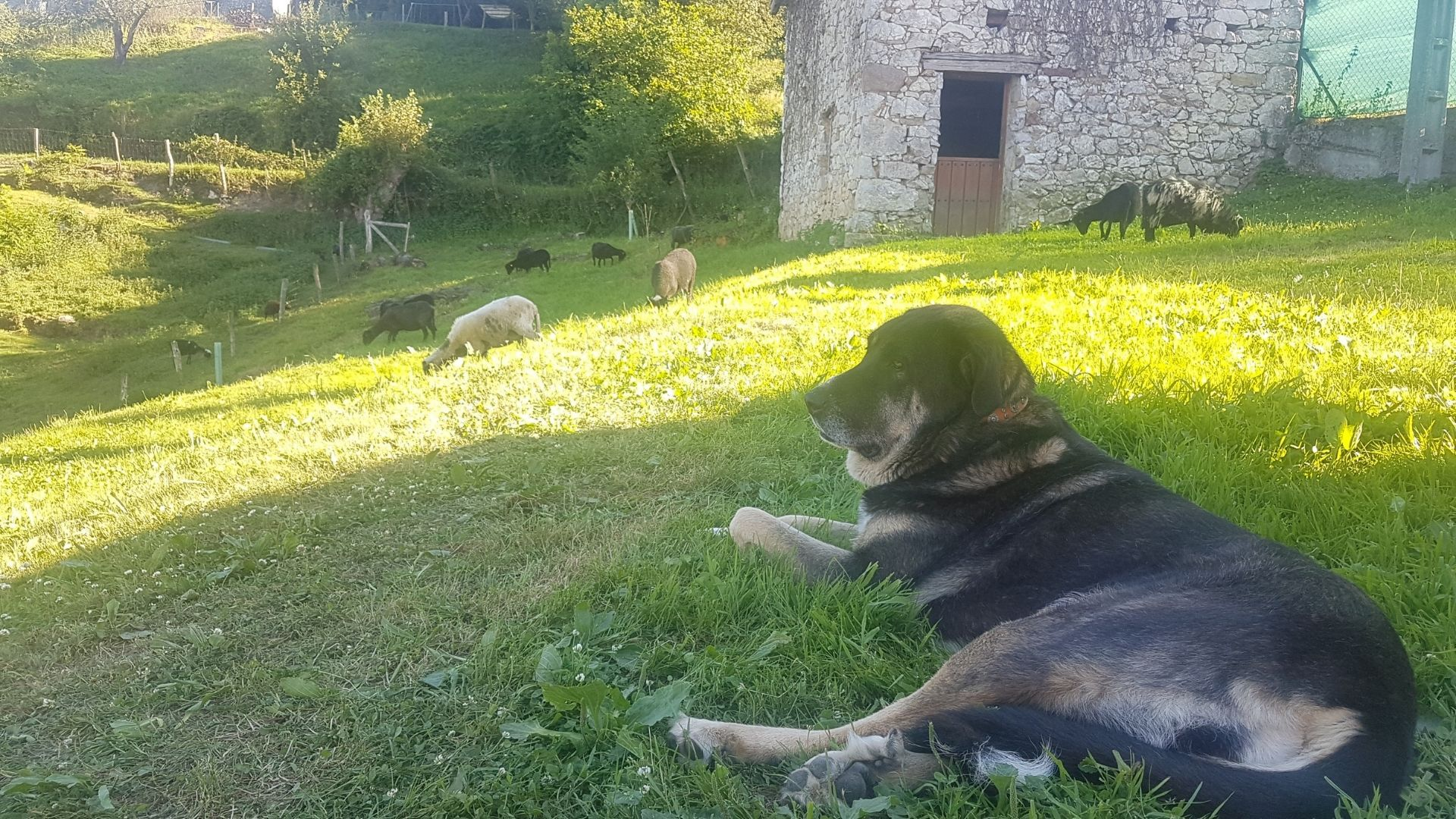 Un mastín descansa en la finca, con las ovejas xaldas pastando