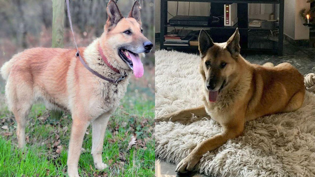 Alan, un perro abandonado en Baralla vive ahora en Alemania