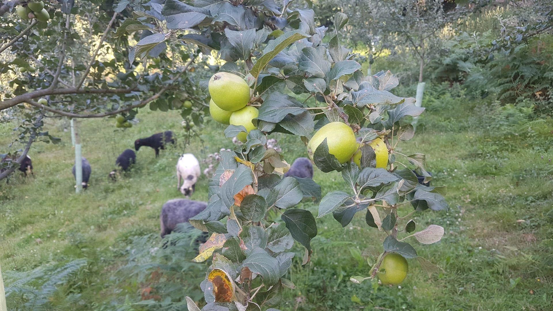 Las ovejas xaldas, «ayudando» en la pomarada ecológica
