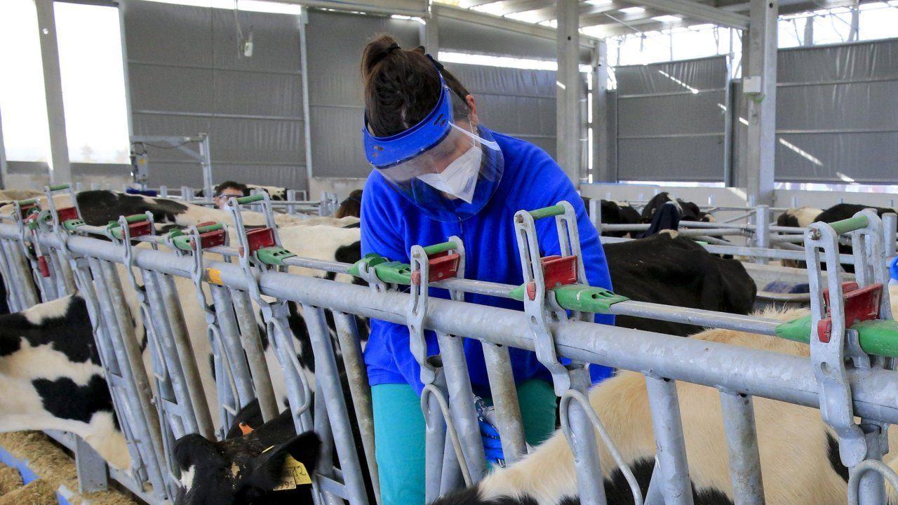 Alumnos de Veterinaria, haciendo prácticas en la Granxa Experimental do Leite