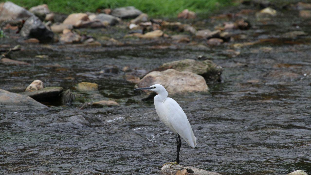 Un ejemplar de garceta común en el río Cabe