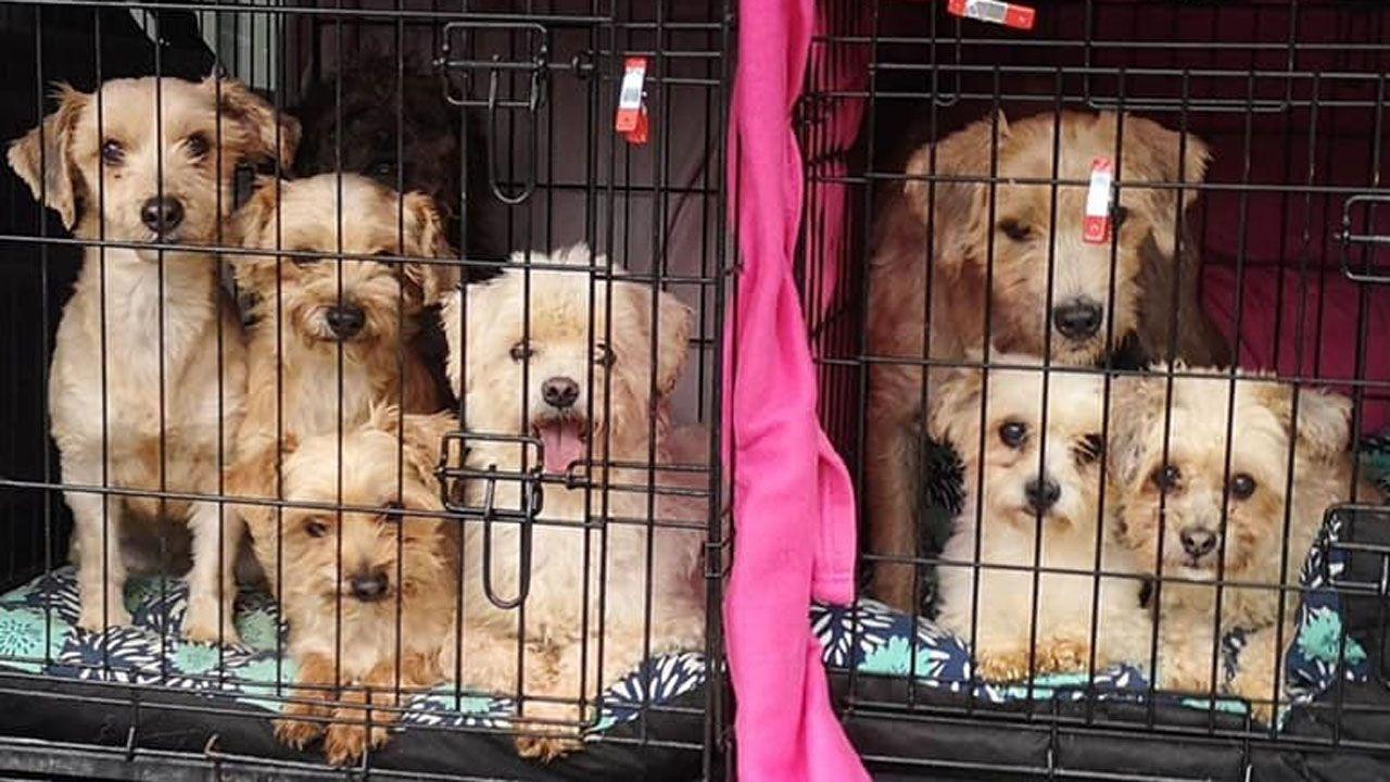 Perros rescatados de un piso de Oviedo donde convivían 39 canes y 17 gatos, cuya dueña sufre 'síndrome de Noé'.  REMITIDA / HANDOUT por MUNDO VIVO ORG