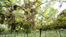 La variedad de uva ratiño debe su nombre a su pequeño tamaño