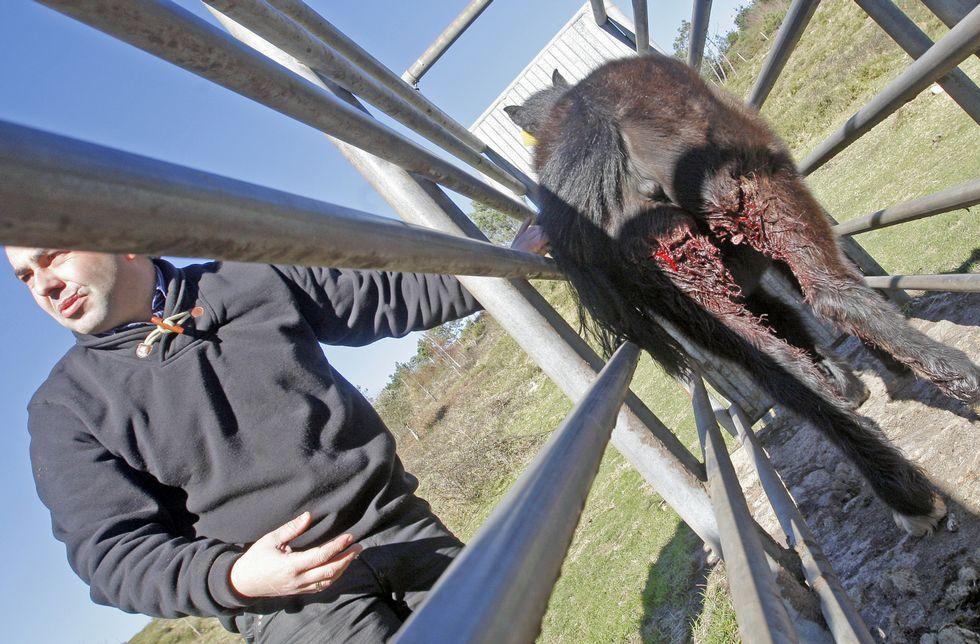 <span lang= es-es >Último episodio</span>. Un potro de los comuneros de Baroña fue atacado en la madrugada de ayer en las patas traseras, pero logró huir por el monte después de romper un cierre de madera.
