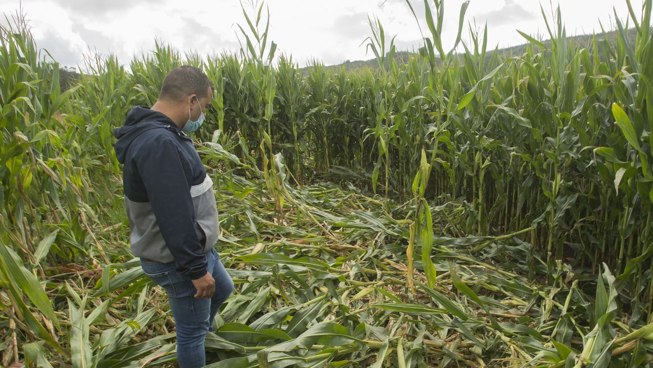 «Media hectárea destrozada». Los daños en esta finca de maíz de Lousame, uno de los municipios más afectados, superan con creces a la indemnización que puede otorgar la Xunta