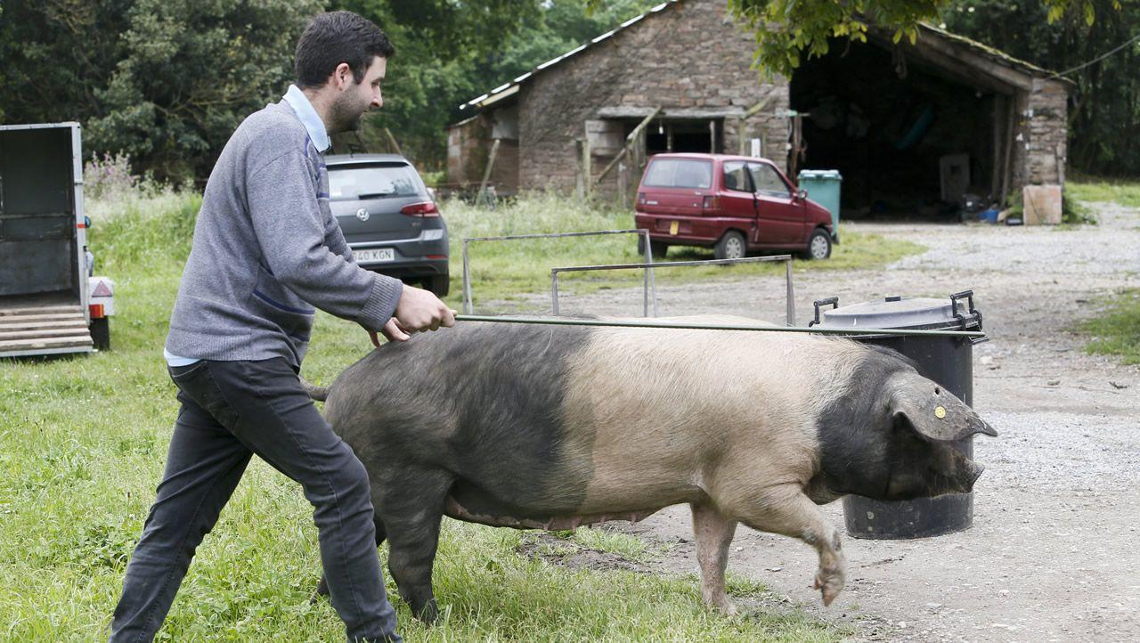 Ocho porcos celtas entrenan para su debut en una pasarela
