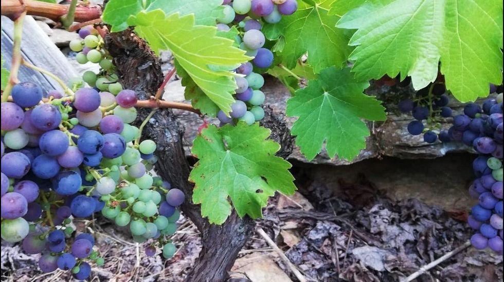 Envero de la mencía en un viñedo de Val dos Frades, en una foto tomada este jueves