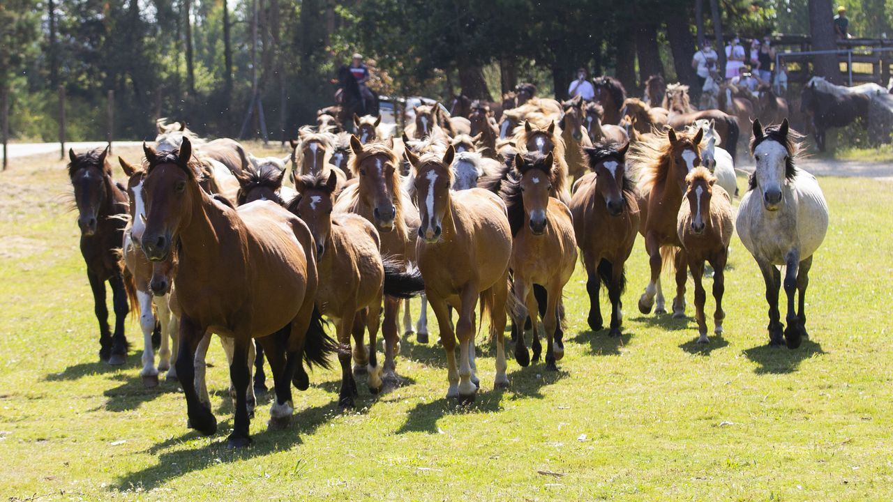 No hubo rapa, pero los caballos del Monte Faro bajaron a su desparasitación.Visones americanos en una jaula