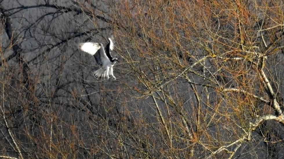 Así quedó el corazón de A Chavasqueira.Este ejemplar de águila pescadora fue fotografiado en el entorno de Portomarín el pasado 12 de enero, durante la realización del censo anual de esta especie en Galicia