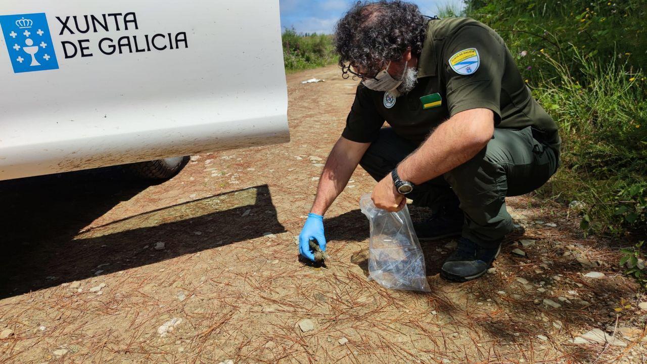 María Páez puede localizar a sus vacas gracias a los collares con GPS.Esther Rodríguez, empleada de la SAT Arealba, en una de las fincas en las que se abandonó la cosecha de maíz por los sucesivos ataques de jabalí