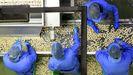 La empresa de A Ulloa que procesa 7 millones de kilos de castaña