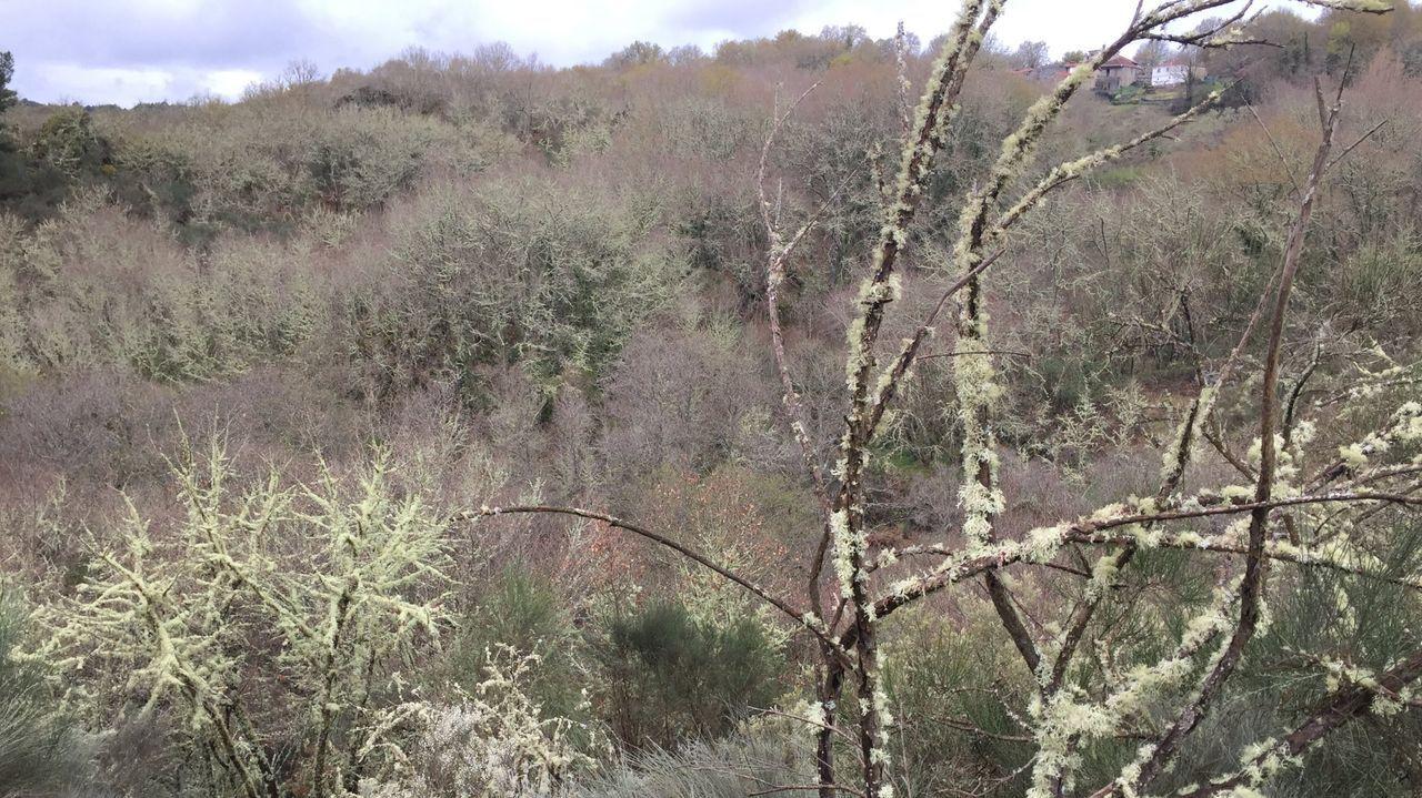 A Farria, en Xunqueira de Ambía. Corredoiras forradas de musgo y túneles de castiñeiros y carballos