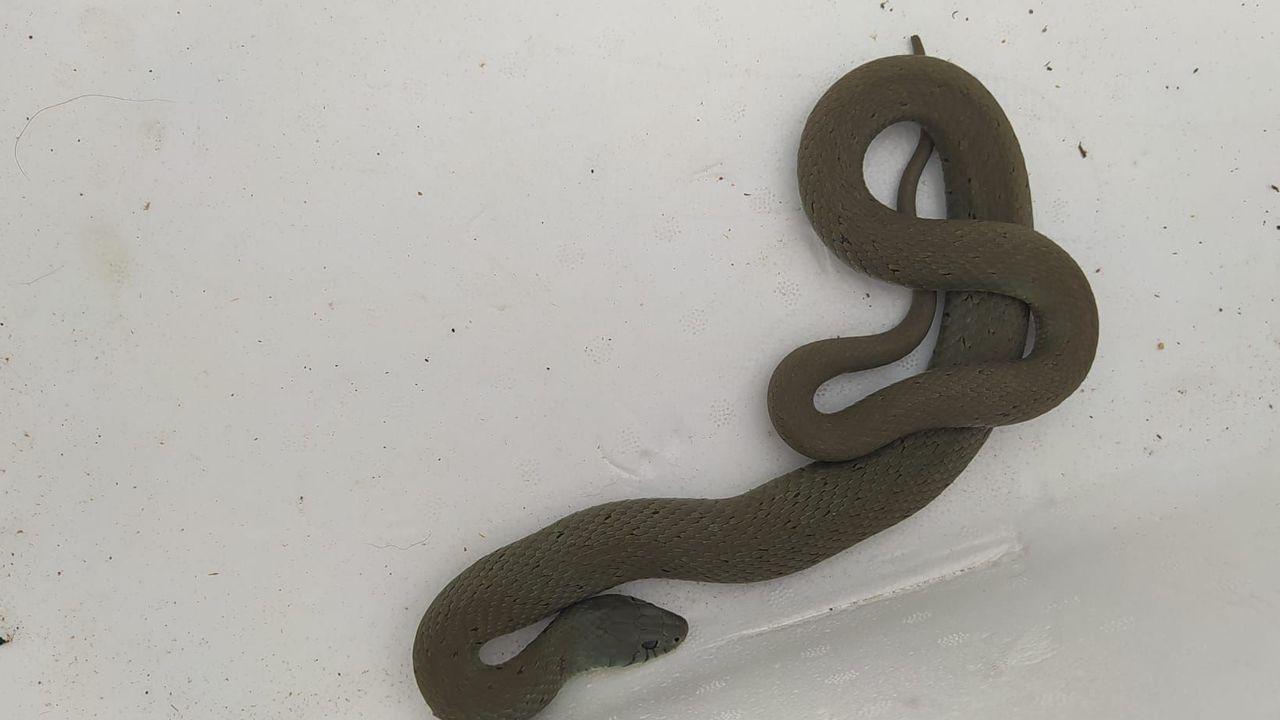 La serpiente apareció en una finca de Parga
