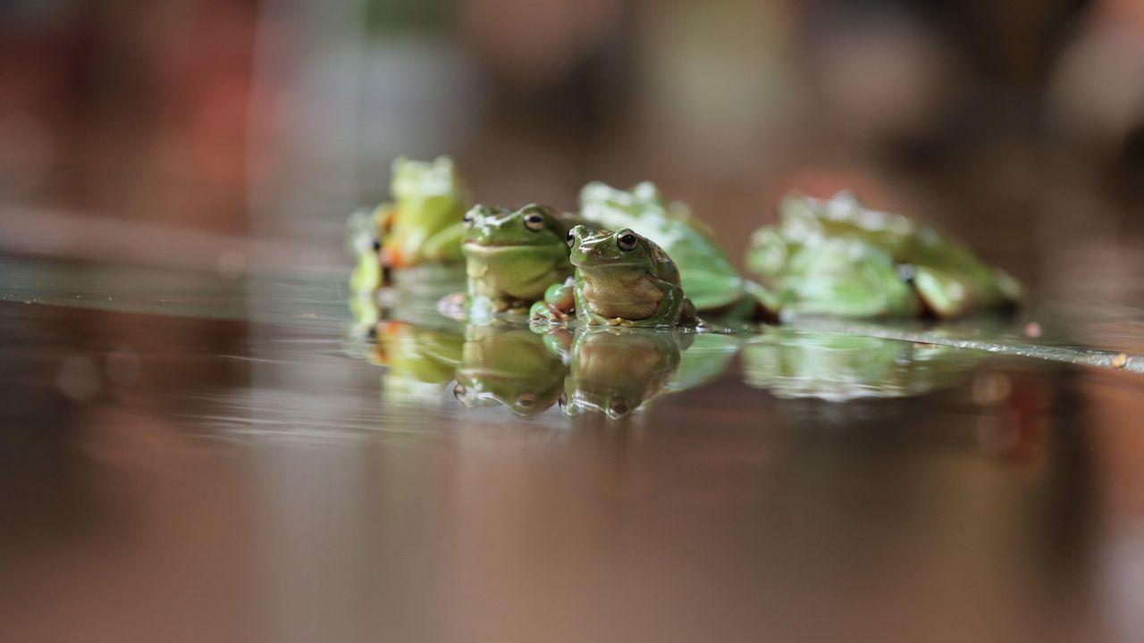 Ranas durante la carrera de ranas