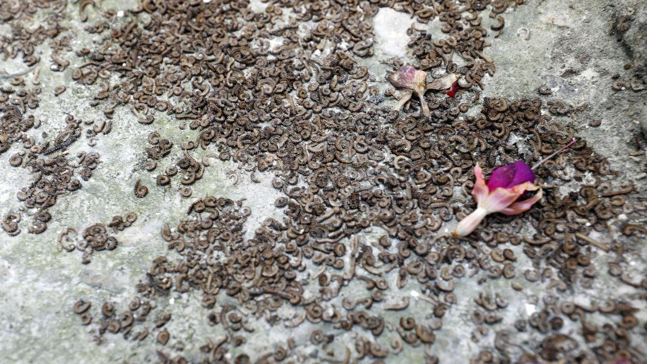 Miles de gusanos «desconocidos» traen en jaque a Viveiro