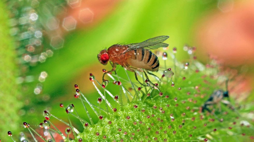 Duración de la vida de la mosca de la fruta