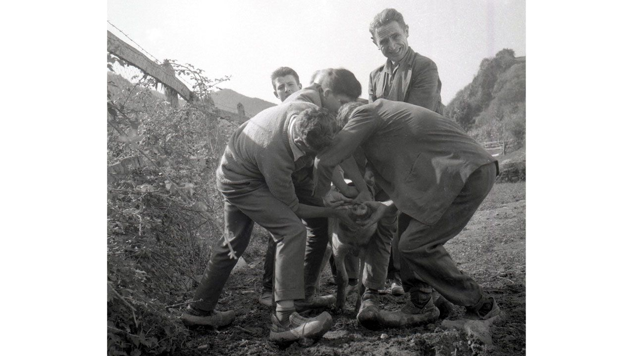 Alambrando el gochu. Caso, 1965