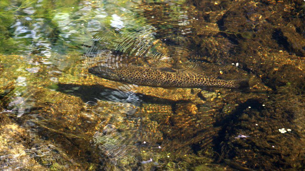 Truchas en un tramo urbano del río Asma, en Chantada, donde está limitada la pesca