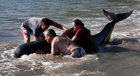 Las crías, que seguían al guía de la manada, también se resistieron a ser arrastradas al mar.