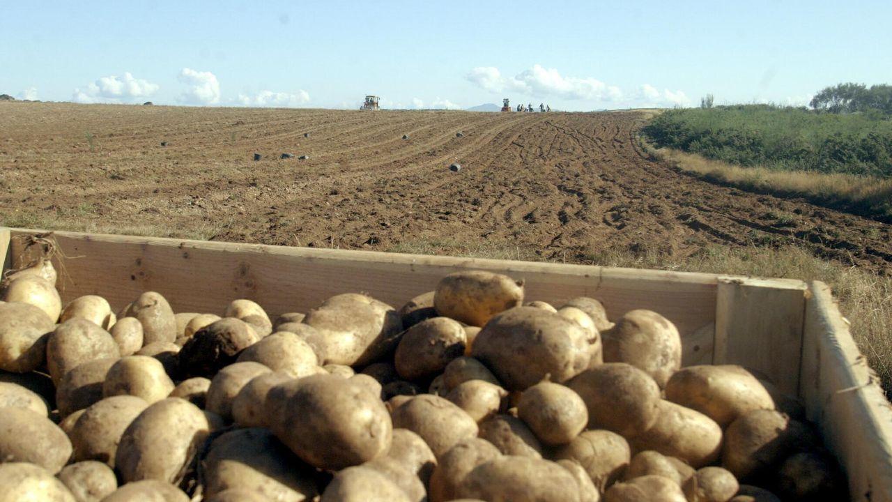 Imagen de archivo de semillas de patata galega