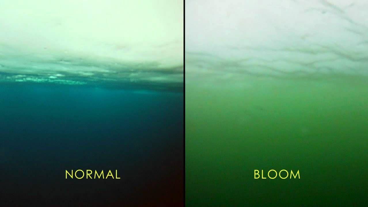 Los blooms de fitoplancton aumentan la concentración de clorofila en el mar.