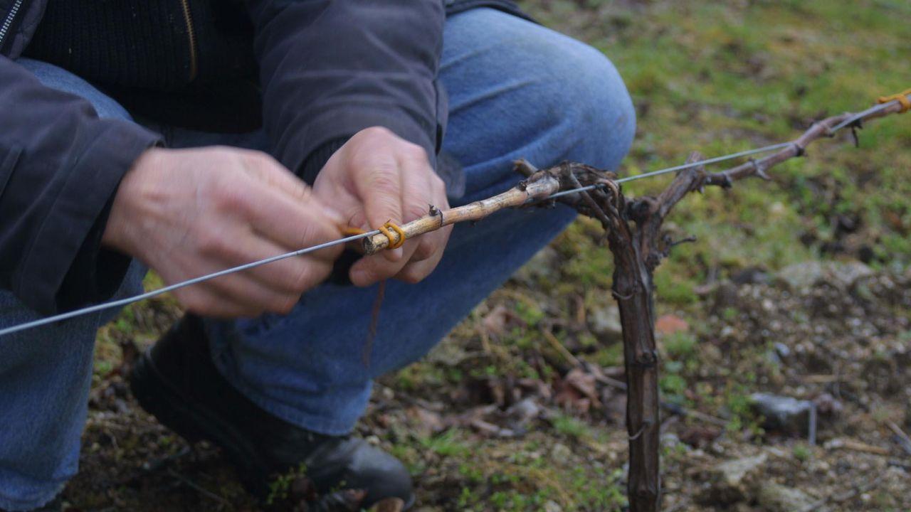 Fauna rara y amenazada del sur lucense.Poda y atado de las vides en las viñas contiguas a Adegas Amedo