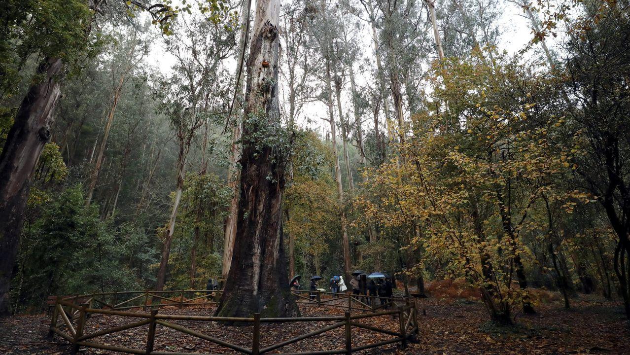 Una valla perimetral protege a O Avó, porque de tantos visitantes que se acercaban para abrazarlo rodeándolo entre varios, se compactó la tierra a su alrededor y se dañaban sus raíces