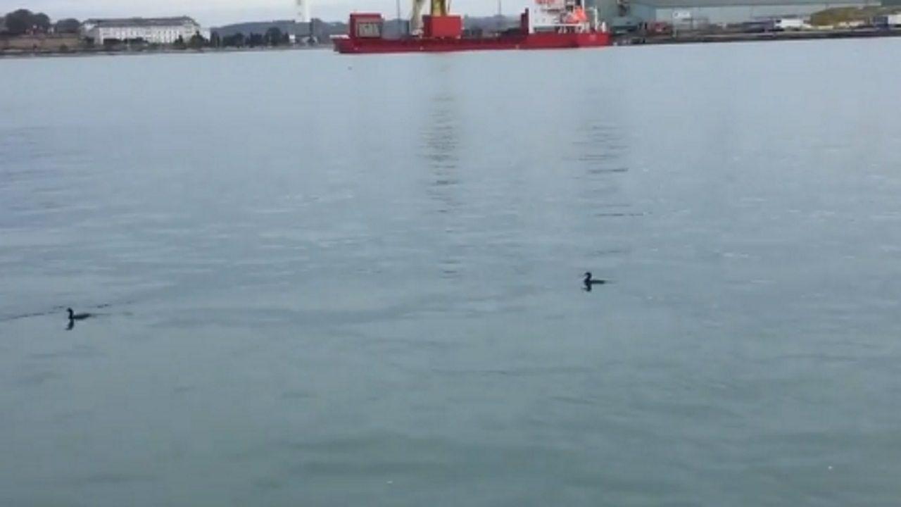 Las aguas limpias del puerto de A Coruña, un atractivo para la pesca de los cormoranes