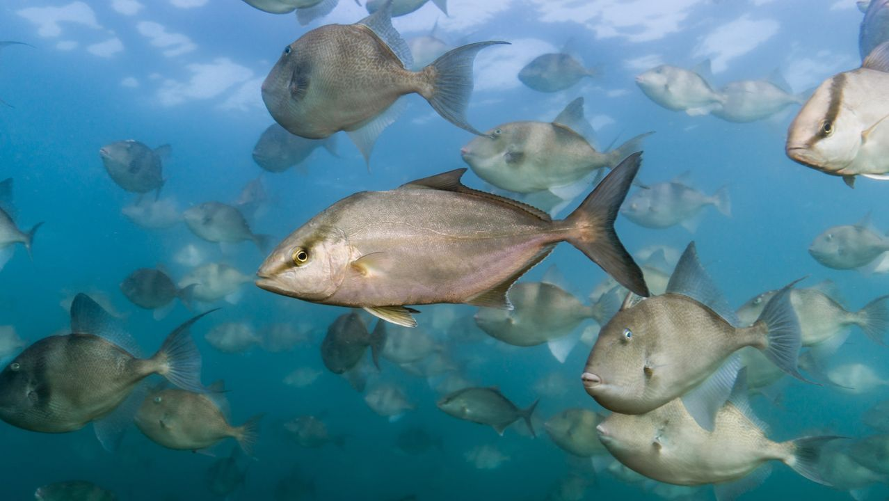 Un grupo de peces limón.Un grupo de peces limón