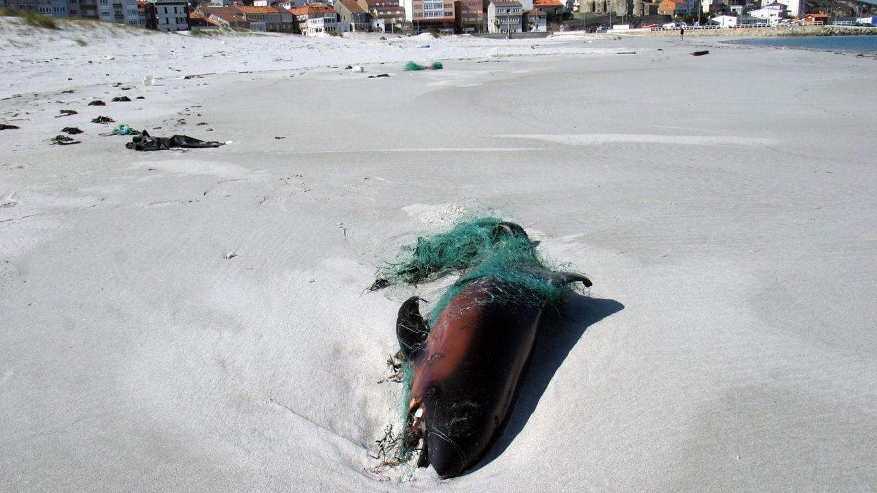Cría de delfín, muerta entre redes, en la playa de Laxe