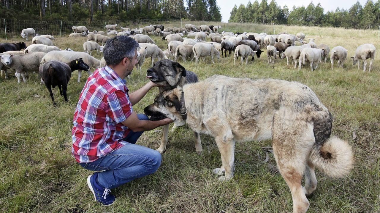 Rodeiro, el concello con sesenta jamones por cada vecino.Diego en medio de las ovejas que trasquiló hace un mes. Él fue uno de los que aceptó la oferta de diez céntimos por vellón