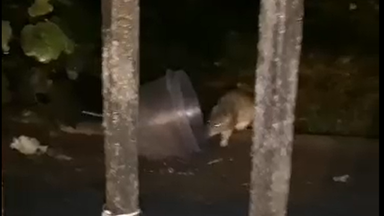 Una rata busca comida dentro del recinto de la antigua fábrica de armas de La Vega