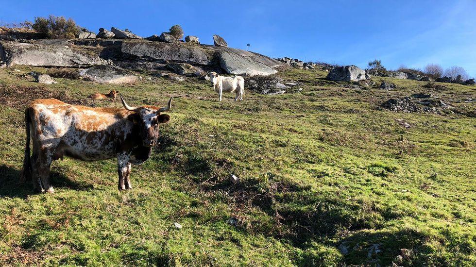 Lobo alimentándose de ganado en Ponte Caldelas.Beatriz Estévez, gerente de Áurea Telecom, con las fundas que se repartirán en hospitales de Pontevedra