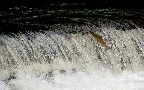 Salmones remontando el río Eo