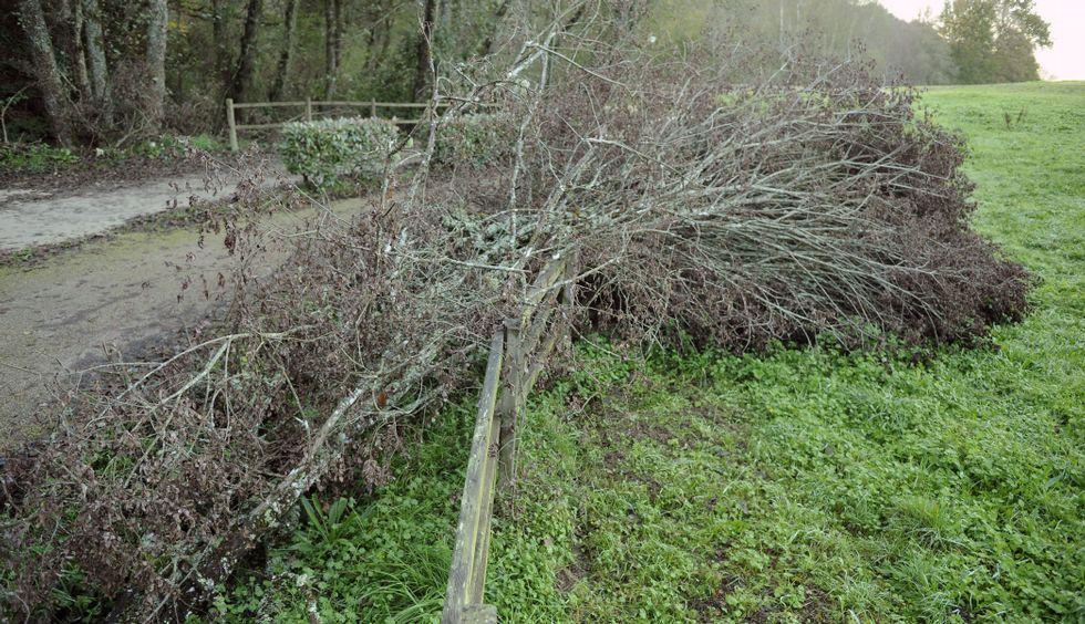 Algunos de los árboles cortados en el paseo y que se destinarán a esta iniciativa.