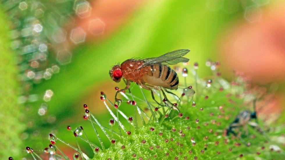 Una «Drosophila melanogaster» con su característico ojo rojo