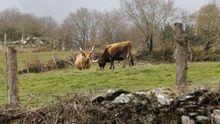 Vacas cachenas en un prado de A Pena