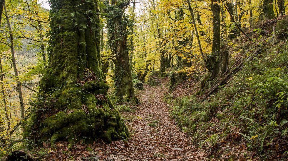 El camino atraviesa uno de los bosques de castaños más extensos de la sierra de O Courel