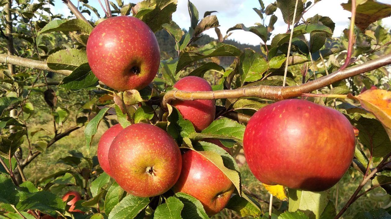 Manzana de la variedad reineta de gardar, en la plantación ecológica de Manuel Varela, en Naraío (San Sadurniño).
