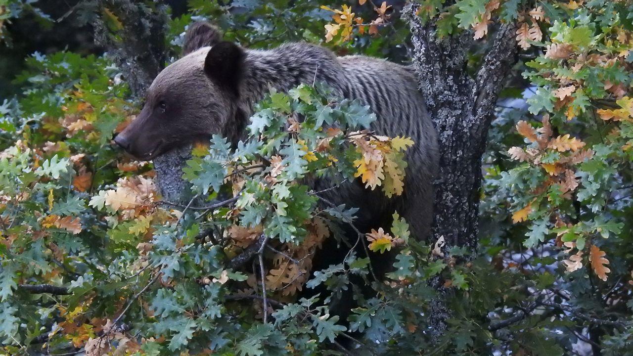 oso, osos, oso pardo cantábrico, Asturias.Turistas en los Lagos de Covadonga