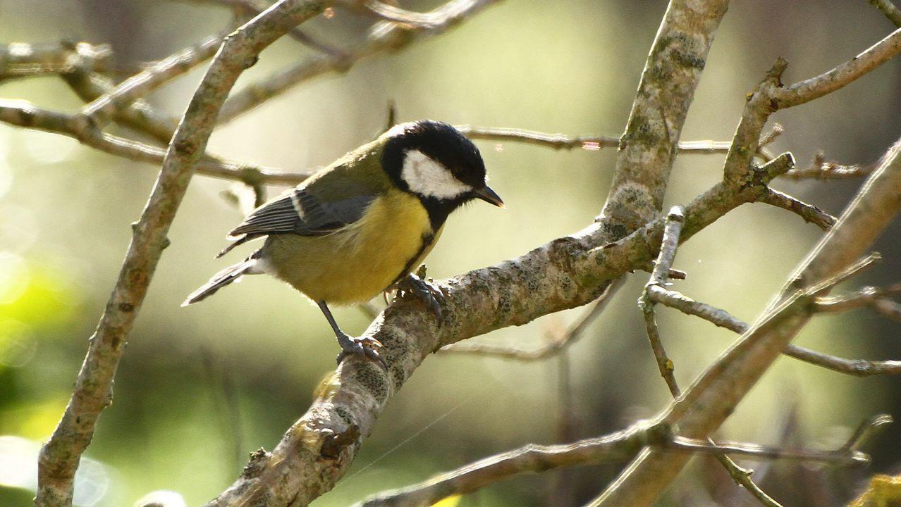 Aves que se pueden observar en el área urbana de Monforte durante el confinamiento.El Aula da Natureza anima a observar aves
