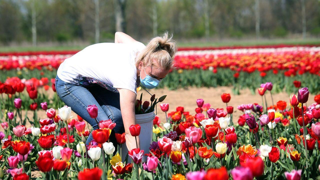 Una trabajadora protegida por una mascarilla recoge tulipanes en una plantación de Arese, cerca de Milán