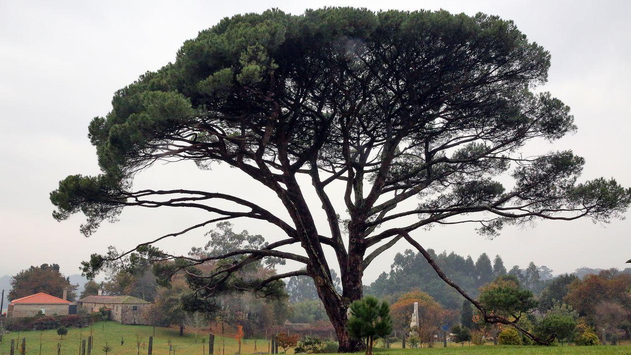 Novas árbores senlleiras en O Salnés