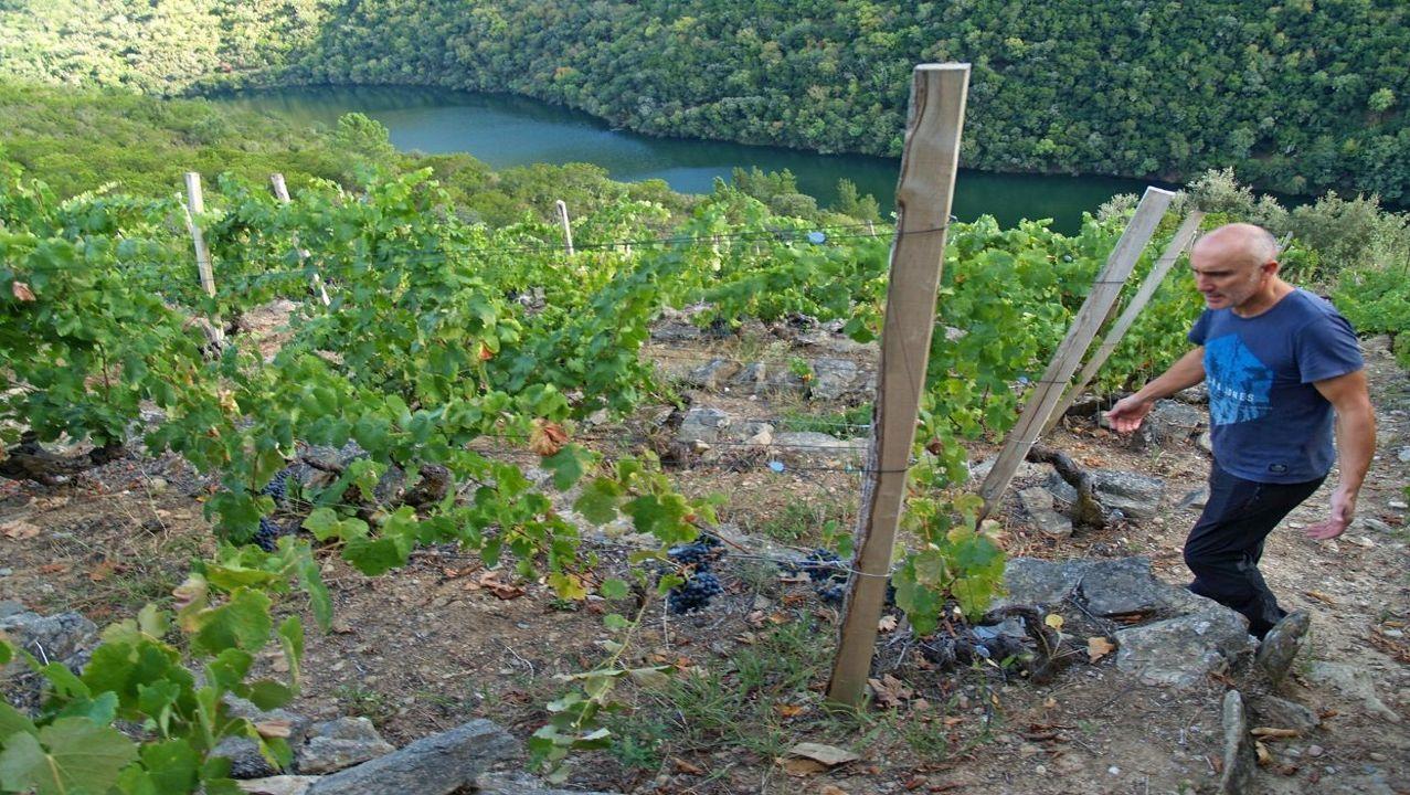 Antonio Anglada, esta última vendimia, en la viña que acaba de dar de baja el consejo regulador