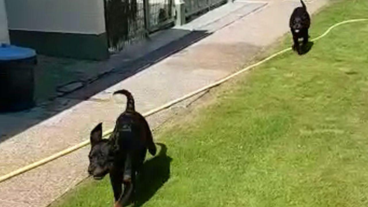 La Guardia Civil identifica a dos de los tres ladrones de los cachorros de rottweiler robados