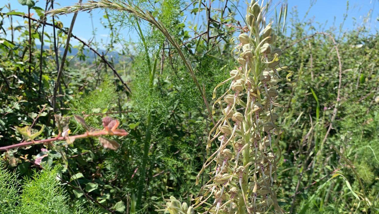 La especie  Himantoglossum hircinum  abunda en la sierra de O Courel, pero es muy rara en el valle de Lemos