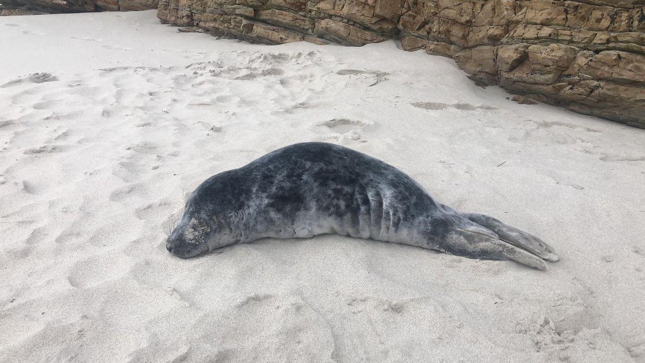 Aparece herida una cría de foca en una playa de Barreiros.En marzo de 2017 hubo intensas búsquedas para encontrar a Ramón López