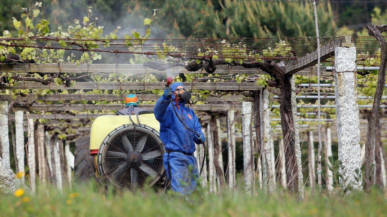Un hombre sulfata una viña en la zona de Arousa. El sector del vino es uno de los más perjudicados por el cierre de la hostelería